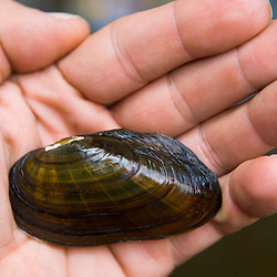 Eastern Elliptio mussel.  Keene, New Hampshire.  Ashuelot River.