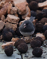 Dark-eyed Junco (Junco hyemalis). Image taken with a Fuji X-H1 camera and 200 mm f/2 lens + 1.4x teleconverter.