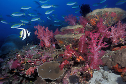 A Longfin Bannerfish, Heniochus acuminatus, swims among schooling Yellowback Fusiliers, Caesio xanthonota, on a sloping reef covered with hard and soft corals. Silvertip Bank, Burma Banks, Myanmar/Burma, Andaman Sea