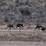 Ostrich, (Struthio camelus) Family group taking dust bath to fend off insects and parasite. Kalahari Desert. Africa.