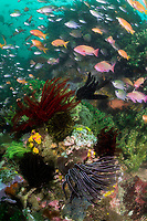 Anthias feed in nutrient rich, murky water<br /> <br /> Shot in Indonesia