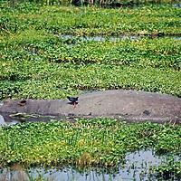 Africa, Tanzania, Ngorongoro Crater. Hippo in the marsh of Ngorongoro Crater.
