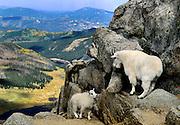 Mountain goat and kid, near Summit Lake, Mt. Evans, Colorado.