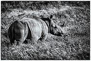 06-11-2017 Foto's genomen tijdens een persreis naar Buffalo City, een gemeente binnen de Zuid-Afrikaanse provincie Oost-Kaap. Inkwenkwezie Private Game Reserve - Witte neushoorn