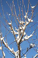 Snow on a rowan tree in Dublin Ireland