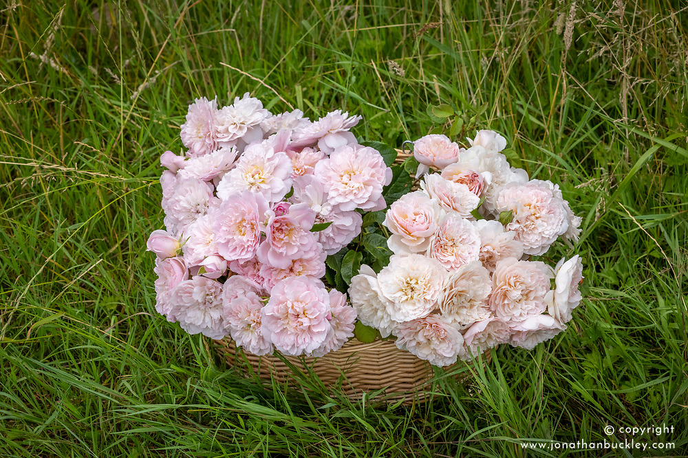 Basket showing the difference between the new rose and 'Emily Bronte'