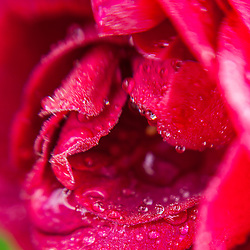 Dew drops on a red rose in a garden in Portsmouth, New Hampshire.