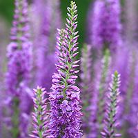 """Purple Veronica"" <br /> <br /> Beautiful Purple Veronica in the summer sunlight!"