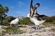 Laysan albatross, Phoebastria immutabilis, courtship with one member pointing and the other side preening, Sand Island, Midway Atoll, Midway National Wildlife Refuge, Papahanaumokuakea Marine National Monument, Northwest Hawaiian Islands, USA ( North Pacific Ocean )