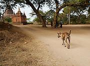 A stray dog walks among the many pagodas of Bagan, Myanmar.