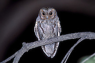 Flammulated Owl - Otus flammeolus