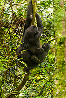 A pregnant mother mountain gorilla carries a 1-2 year old baby gorilla as she climbs a tree in the rain forest, Bwindi Impenetrable National Park, southern Uganda, near the border of Rwanda and Congo.            <br /> <br /> Bwindi Impenetrable Forest contains 400 Mountain Gorillas, half the world's population of Mountain Gorillas. It is a World Heritage Site.<br /> <br /> The Bwindi Impenetrable Forest is a large primeval forest located in south-western Uganda in the Kanungu District. The forest is on the edge of the Albertine Rift, the western branch of the East African Rift, at elevations ranging from 1,160 to 2,607 metres (3,806 to 8,553 ft).