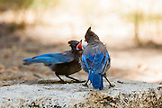 Blue Jays - grown chick and mother - at Big Pine Creek in the Eastern Sierras.