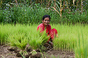 A woman is collection rice seedlings from a nursery to bring them into the rice paddy to plant them in Dhading. Rice, like millet, is part of Nepalese stable foods.