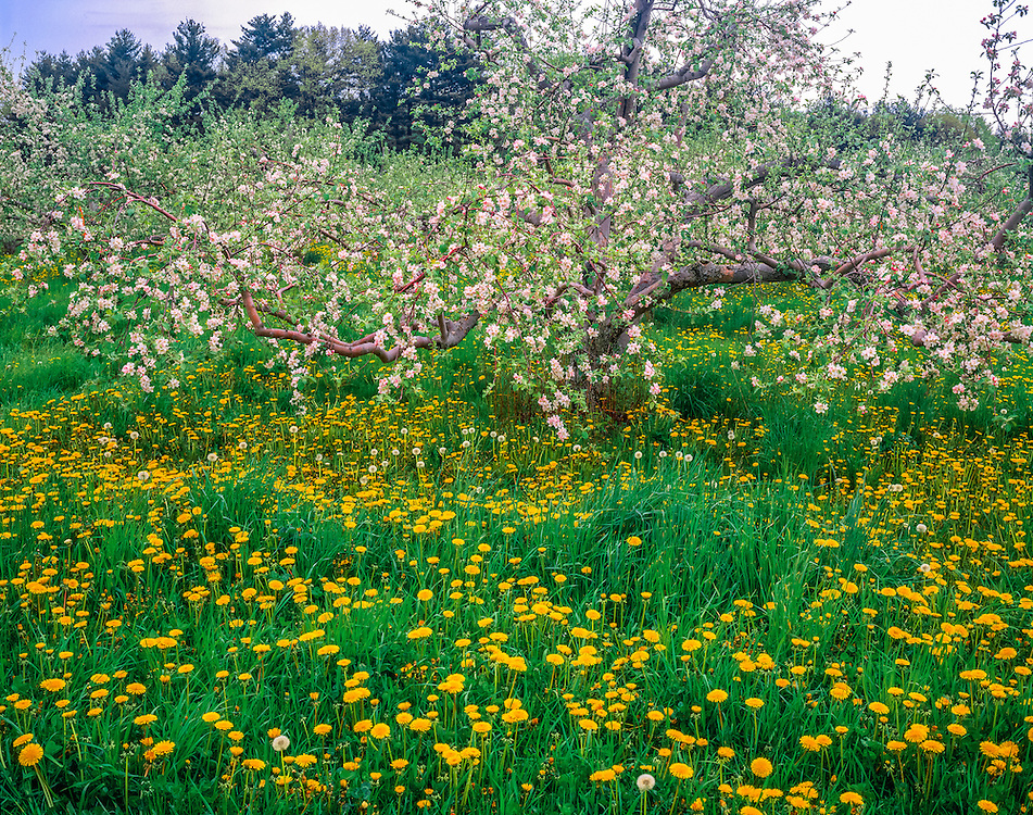 Apple tree in blossom & dandelions in spring, Londonderry, NH