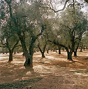 An olive grove with nets placed below to catch fallen olives, Puglia, Italy
