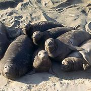 Northern Elephant Seal, (Mirounga angustirostris)  Weaners huddle together on beach. California.