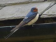 Barn swallow, Hirundo rustica, on guttering in Northumberland, UK