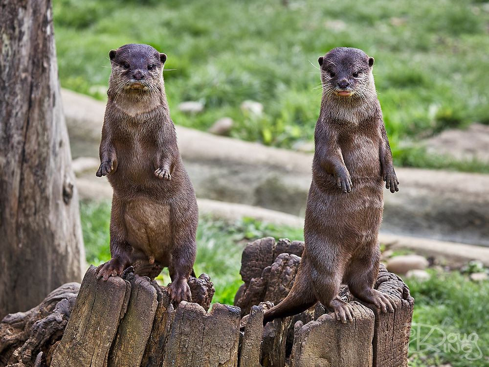 Asian Short Clawed Otters Aonyx Cinerea at the Cotswold Wildlife Park, Oxfordshire, UK