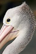 Australian Pelican, Queensland, Australia