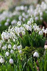 Double snowdrops growing wild  in Kingscote Wood, Gloucestershire. Galanthus nivalis f. pleniflorus 'Flore Pleno'