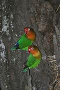 Africa, Tanzania, Serengeti National Park, Fischer's Lovebird, (Agapornis fischeri)