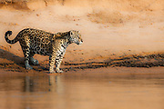 A wild jaguar (Panthera onca) standing on the edge of a river bank looking out, Pantanal, Brasil, South America
