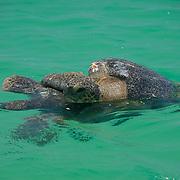 Green Sea Turtle (Chelonia mydas) in the ocean. Galapagos, Ecuador.