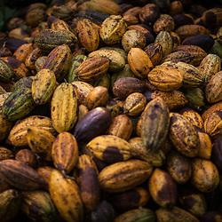 Cocoa production, Nicaragua
