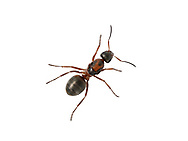 Red-barbed Ant - Formica rufibarbis