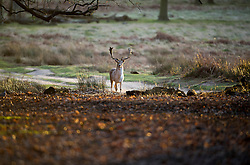 © London News Pictures. 22/02/2014. London, UK.  A deer in the early morning sun at Richmond Park in West London. The south of England is experiencing warm weather for the time of year and sunshine following weeks of rain and flooding.  Photo credit: Ben Cawthra/LNP