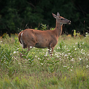 Whitetail in the Ipswich River Wildlife Sanctuary, Topsfield, MA