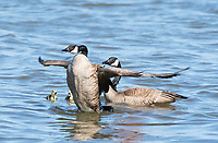 A Canada Goose, Branta canadensis, threatens another goose that has approached too close to its goslings on Lake Ewauna, Oregon