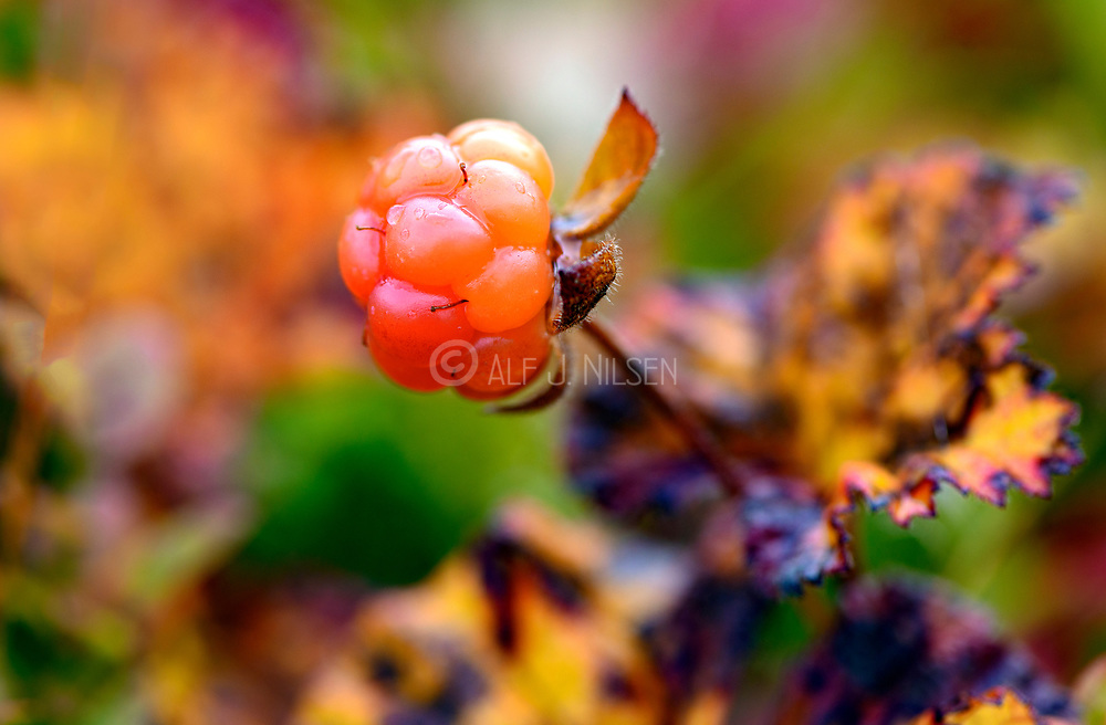 Cloudberry (Rubus chamaemorus) from Lierne National Park (Tröndelag, Norway) in early September.