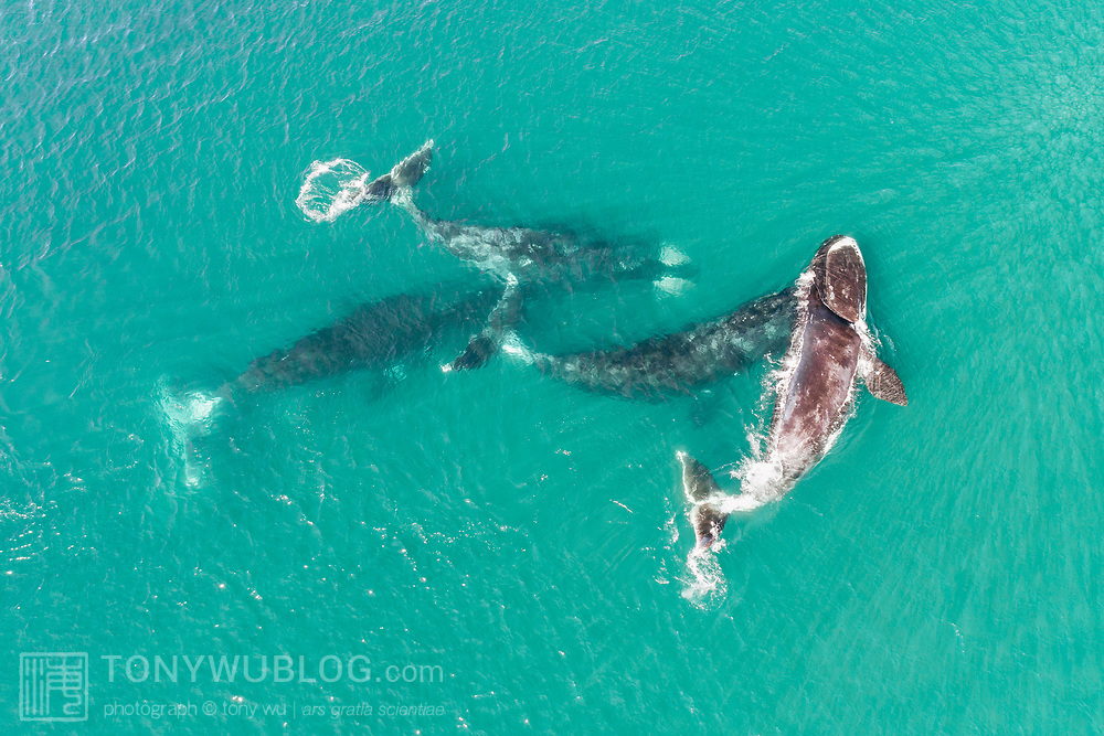 A group of four bowhead whales (Balaena mysticetus) engaged in social activity in very shallow water. These whales are part of the endangered Sea of Okhotsk subpopulation, which best estimates place in the low hundreds.