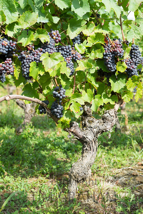 Cabernet Franc ripe black grapes for red wine on ancient vines at Le Perthuis-Foucques in Loire Valley, France