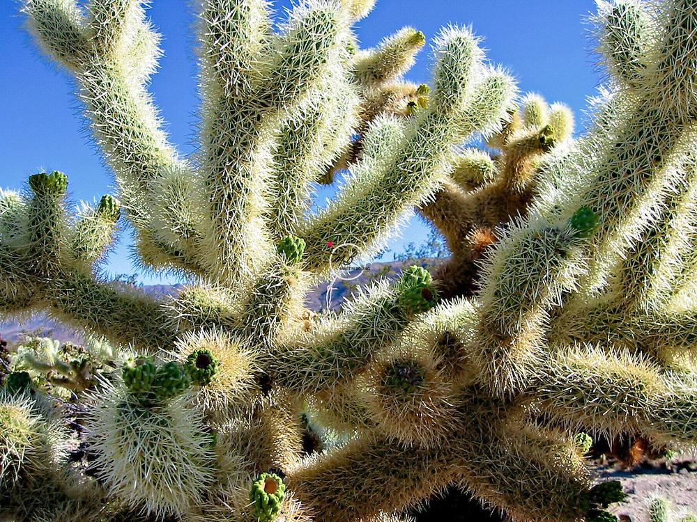 Joshua Tree Desert Cactus