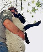 A North York Moors hill farmer carries a Scotch Black Face lamb, Box Hall (farm), Castleton, North Yorkshire; UK