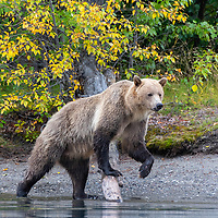 Sow grizzly bear posing on log while walking along the shore of the Chilko River, British Columbia, Canada