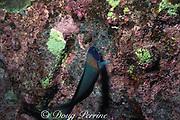 saddle wrasse, Thalassoma duperrey <br /> feeding on eggs of sergeant major damselfish, <br /> Abudefduf abdominalis,  <br /> The Aquarium, Kaupulehu, Kona, Hawaii, USA ( Pacific )