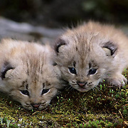 Cananda Lynx (Lynx canadensis).  A pair of kittens in the Rocky Mountains of Montana.  Captive Animal.