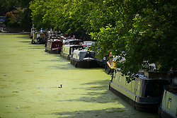 © Licensed to London News Pictures. 05/07/2019. London, UK. The surface of the Grand Union Canal at Little Venice in central London is covered by green duck weed as on July 5, 2019. Warm weather causes an increase of the weed which reduces oxygen levels in the water, threatening fish stocks. Photo credit: Ben Cawthra/LNP