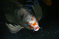 A Koi fish swimming in a pond in Kihei, Hawaii.