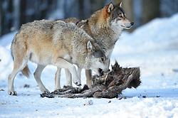 28.12.2014, Wildtierpark, Bad Mergentheim, GER, Wölfe im Wildtierpark Bad Mergentheim, im Bild 2 Woelfe fressen am Kadaver eines Wildschweins, Timberwolf, Kanadischer Wolf (Canis lupus occidentalis) im Schnee, captive // Wolves in the Wildtierpark in Bad Mergentheim, Germany on 2014/12/28. EXPA Pictures © 2015, PhotoCredit: EXPA/ Eibner-Pressefoto/ Weber<br /> <br /> *****ATTENTION - OUT of GER*****