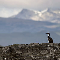 A lonely Imperial Shag, one of many two-colored Cormorants on Isla de los Pajaros, resting on a rock of the Cormorant Colony.