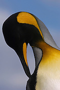King Penguin (Aptenodytes p. patagonica)<br /> Volunteer Point, Johnson's Harbour, East Falkland Island. FALKLAND ISLANDS.<br /> RANGE: Circumpolar, breeding on Subantarctic Islands. Extensive colonies found in South Georgia, Marion, Crozet, Kerguelen and Macquarie Islands. The Falklands represent its most northerly range. They are highly gregarious which probably accounts for it common association with colonies of Gentoo Penguins.<br /> King Penguins are the largest and most colourful penguins found in the Falklands. They have a unique breeding cycle. The incubation of one egg lasts for 54-55 days and chick rearing 11-12 months. As the complete cycle takes more than one year a pair will generally only breed twice in three years.