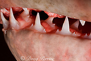 teeth of porbeagle shark ( Lamna nasus ), caught for research, New Brunswick, Canada ( Bay of Fundy )