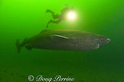 Greenland sleeper shark, Somniosus microcephalus<br /> and diver, St. Lawrence River estuary, Canada<br /> (this shark was wild & unrestrained; it was not hooked<br /> and tail-roped as in most or all photos from the Arctic)<br /> MR 374