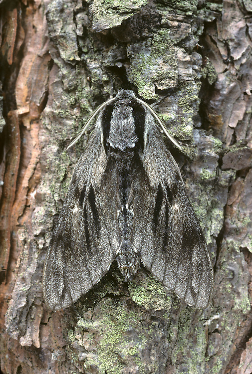 Pine Hawk-moth Hyloicus pinastri Wingspan 80mm. An extremely well-camouflaged moth when resting on the bark of pine trees.  Adult has grey-brown forewings marked with darker streaks and stippled with dark spot. The hindwings are flushed buffish but are only occasionally exposed if the moth is alarmed. Flies June–July. Larva is green with lengthways pale stripes and a dark 'horn' at the tail end. Larva feeds on Scots Pine needles. Locally common only in southern England.