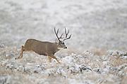 Mule deer (Odocoileus hemionus) buck running in snow